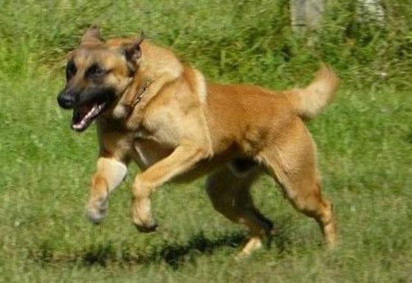 Un chien policier presque dressé mord six enfants