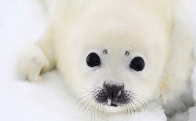 """Deux bébés phoques vont être tués à """"l'Aquarium"""""""