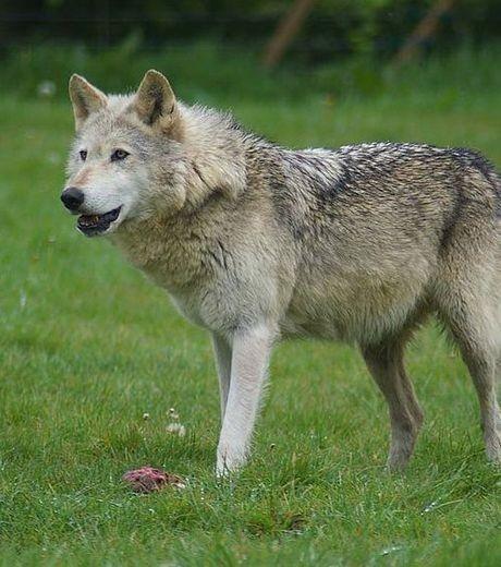Loup n'est plus le bienvenu dans  Parc national Cévennes