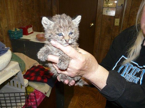 Histoire du petit lynx Chips rescapé incendies Californie