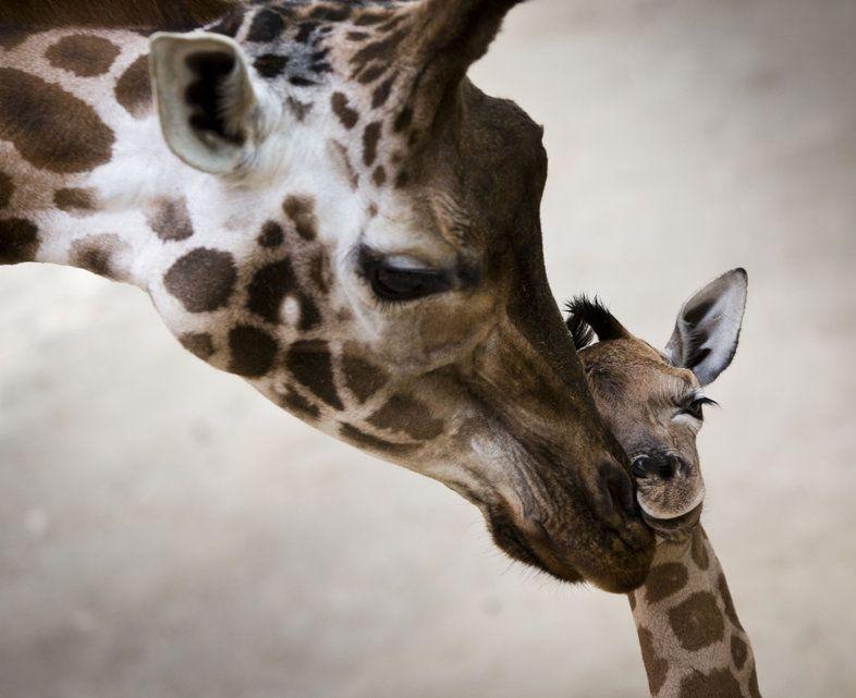 Une jolie photo d 39 une maman girafe avec son petit for Prix d une girafe a poncer